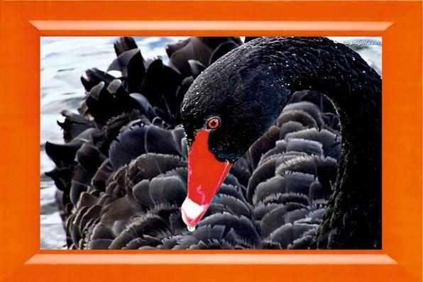 031 Черный лебедь