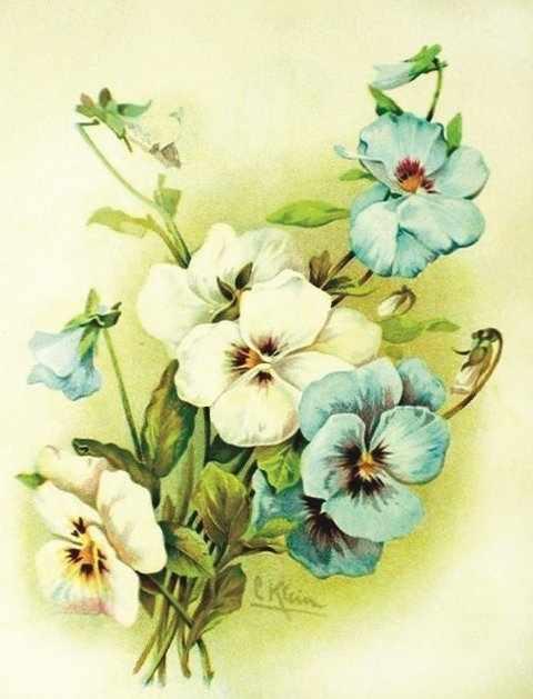 330 Бело-голубые анютки