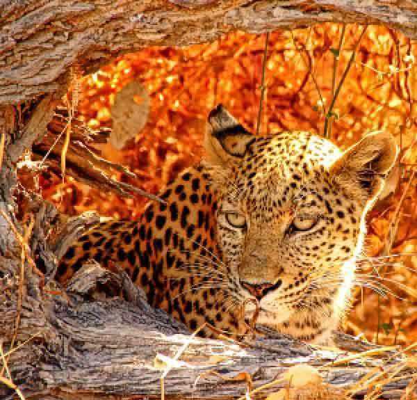 98437 Затаившийся леопард KKrafts
