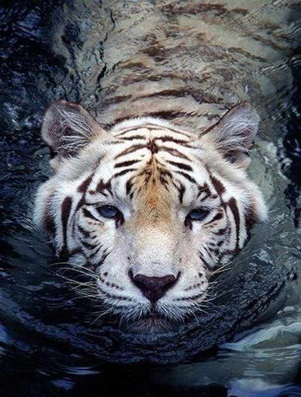 Ag450 - Тигр в воде - мозаика