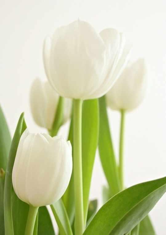 Ag4623 - Белые тюльпаны - мозаика