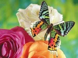 """G358 """"Бабочка и три розы"""""""