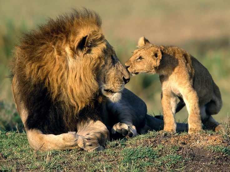 GX7019 Лев и львенок