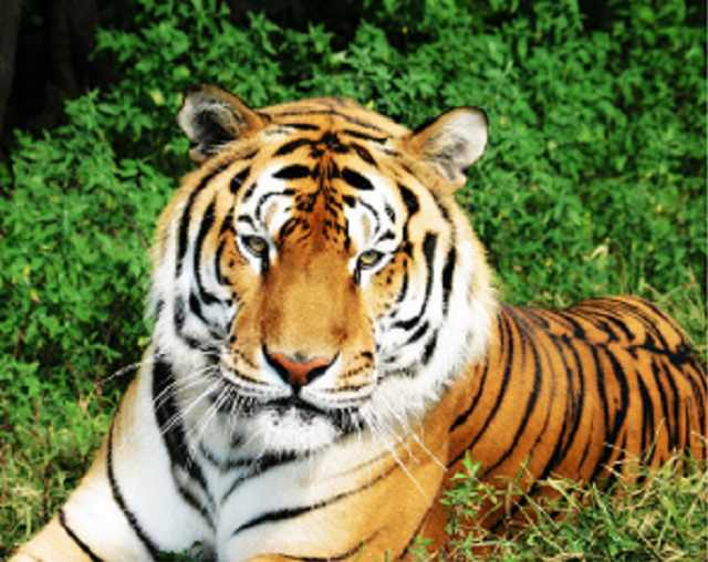 SG114 Величественный тигр - мозаика из страз (Цветной)