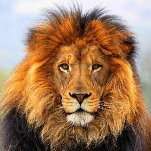 N-211 Царь зверей - мозаика Милато