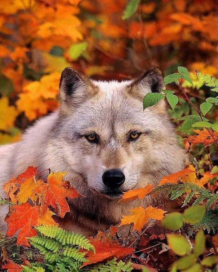N-169 Волк в листве