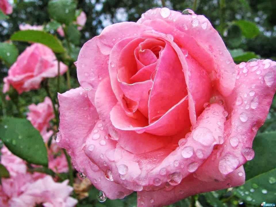 N-286 Роза после дождя - мозаика Милато