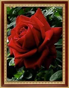 069 Пурпурная роза