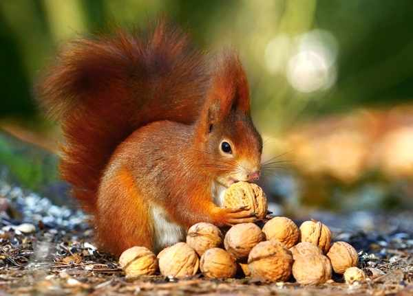 В-018277 Белка с орешками,180 деталей
