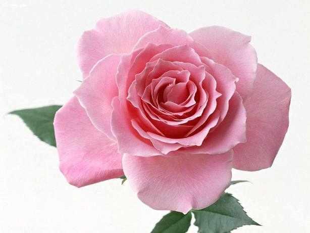 N-114 Нежная роза - мозаика Милато