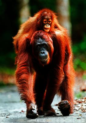 цена на Пазлы Trefl 10514 Орангутанг с малышом, Индонезия, 1000 деталей, ПРИРОДА