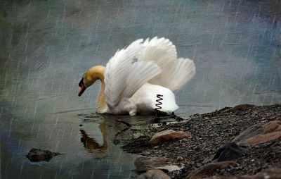 П45 Лебедь под дождем