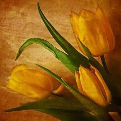 П53 Тюльпаны